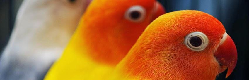 Pusat Informasi Ternak Lovebird Lutino dan Jual Love Bird Terlengkap