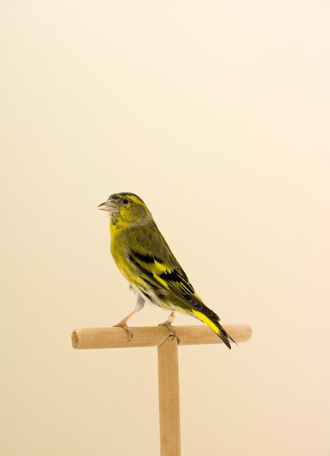 Bird in front of yellow background