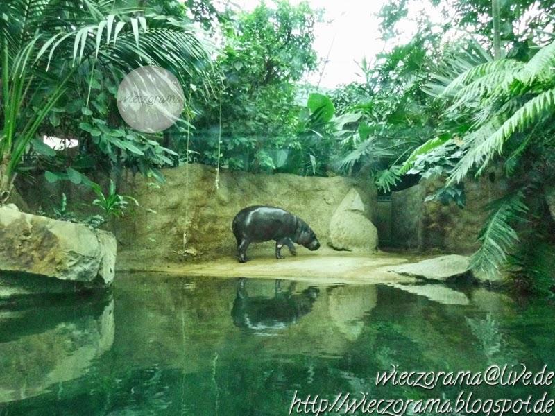 Die Innenraumaufnahme zeigt ein kleines Zwergflusspferd in seinem Gehege des Berliner Zoologischen Gartens