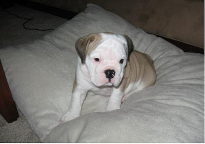 Bulldog Dog Breed Pictures