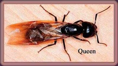insecta Camponotus pennsylvanicus