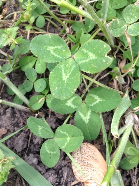 how to kill clover weeds