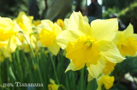 Narcissus / daffodils