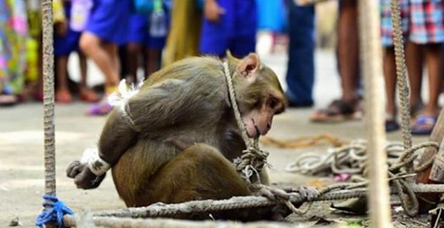 Εκατοντάδες άνθρωποι ζητωκραυγάζουν για τον Βασανισμό αυτής της Μαϊμούς.