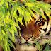 Imagem de Fundo - Bing, tigre por detrás da vegetação