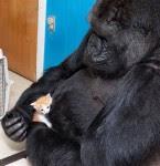 Gorilla nurtures kitten