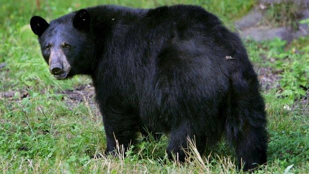 Povești din Nord (6)- Ursul din Newmarket a fost împușcat