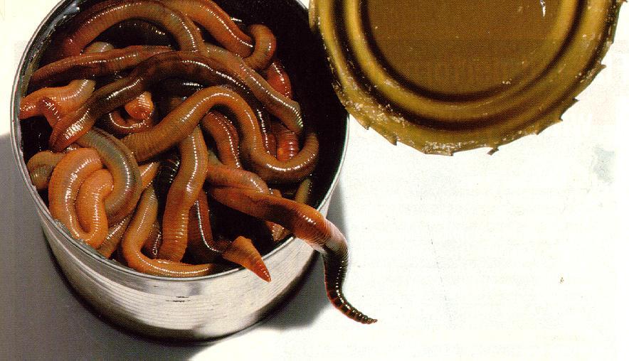 черви для рыбалки на карася