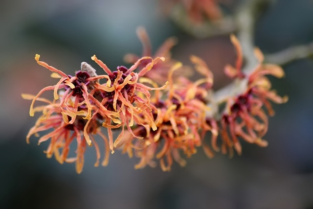 Chinese Witch Hazel in bloom.