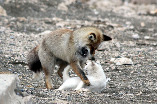 Cat and fox become best friends, van cat, fox pictures, cat and fox