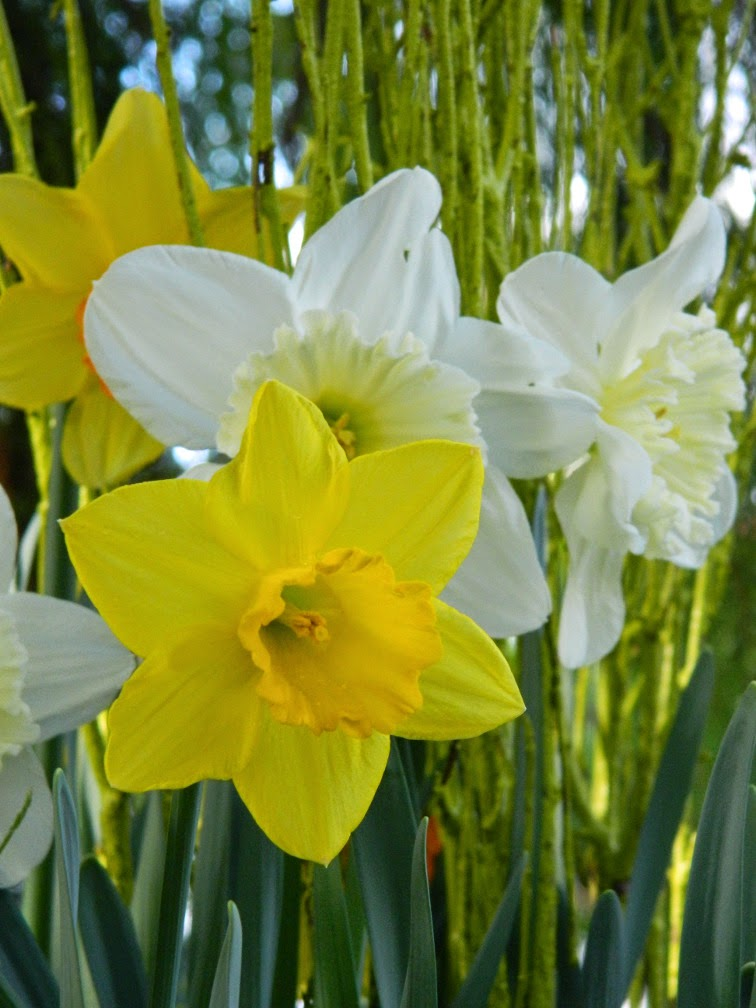 Allan Gardens Conservatory 2015 Spring Flower Show yellow and white daffodils by garden muses-not another Toronto gardening blog