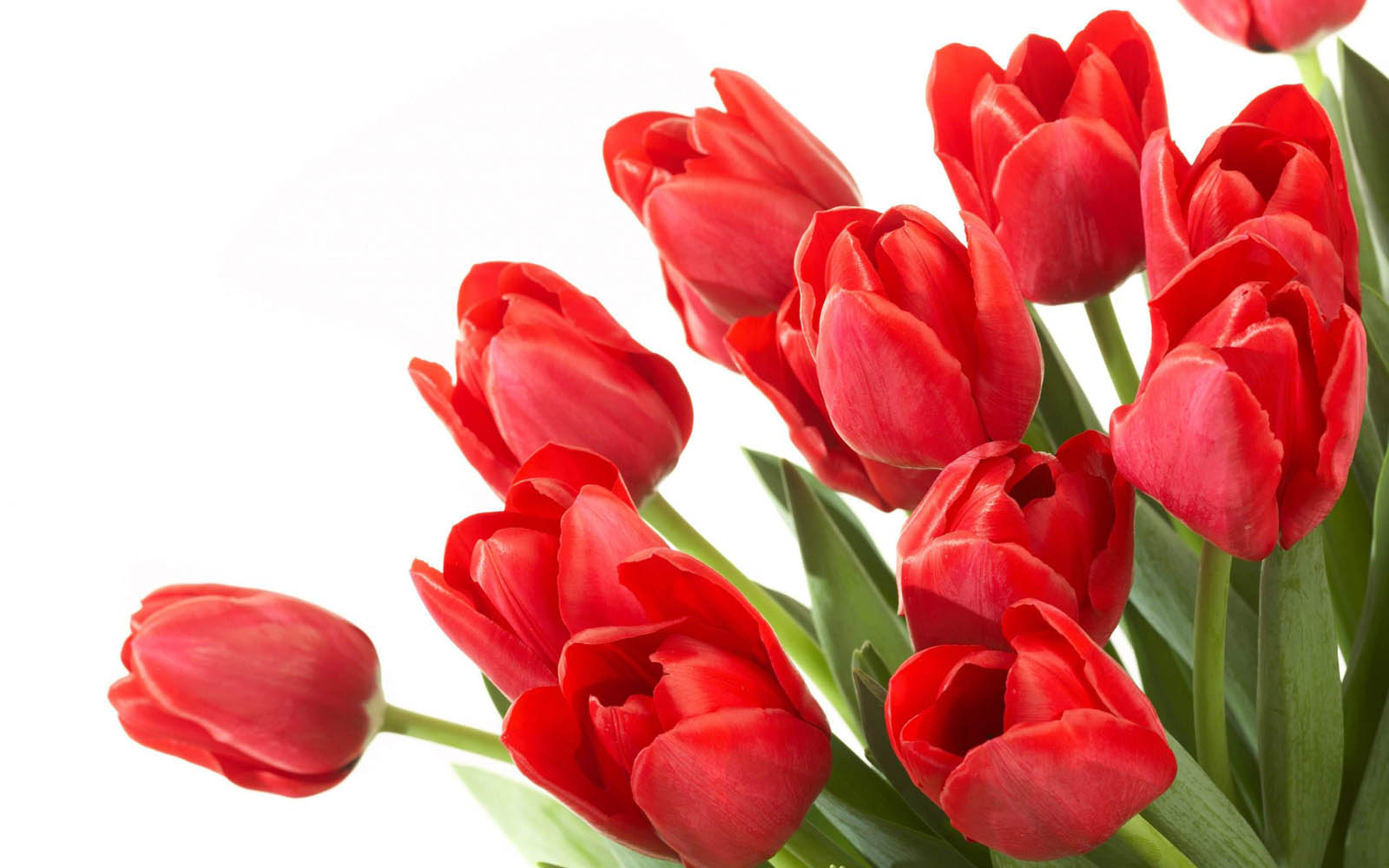 http://3.bp.blogspot.com/-bT1f9qSzLa0/UAhFRMFaQsI/AAAAAAAAF2Q/wUmBBtKIiYI/s1600/Red+Tulips+Wallpapers+1.jpg