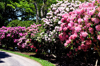 Rhododendrons at Heritage Museums and Gardens