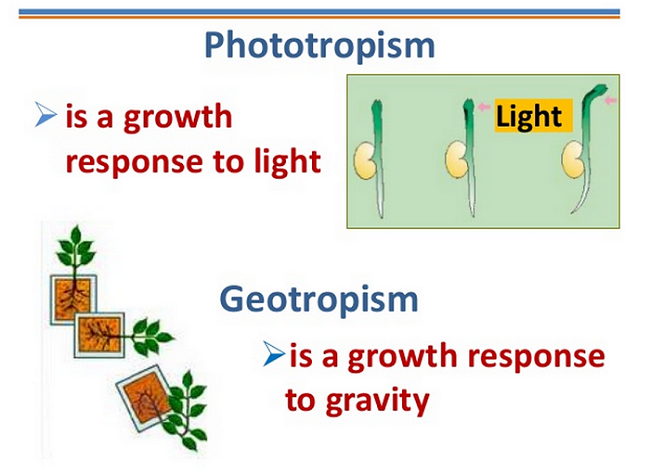 phototropism organisms response to light Phototropism, the curvature of a growing part of a plant or fungus toward or away from light, is a well known, but not particularly well understood, phenomenon the general topic of phototropism has.