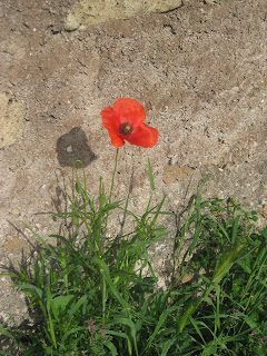 Red poppy found at Hadrian's Villa