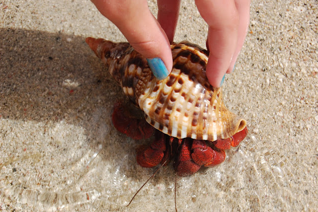 Holding a Bright Orange Hermit Crab Emerging from Its Shell