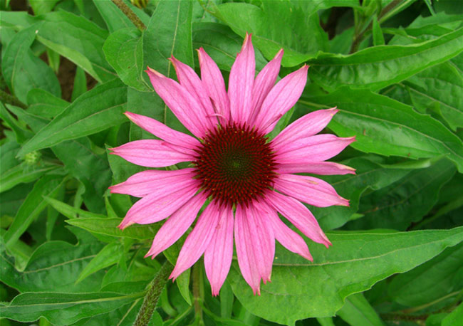 Coneflower Pictures