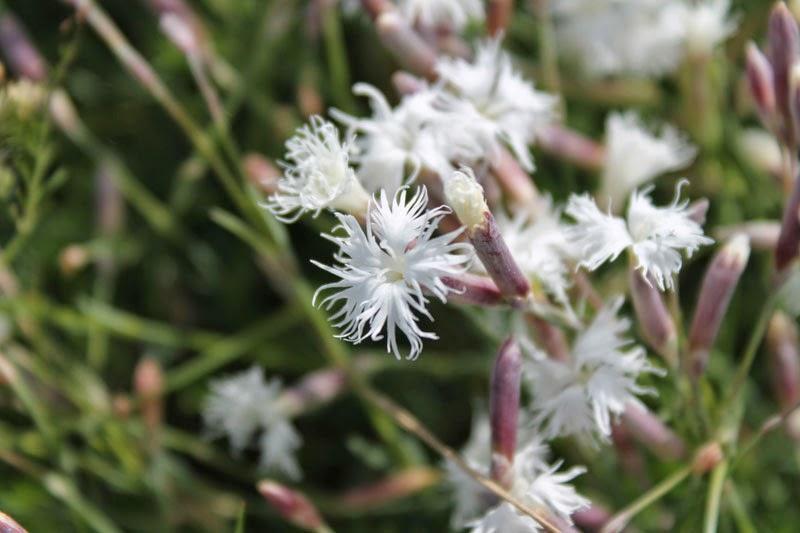 Dianthus arenarius-Sandnejlika-Garofanino