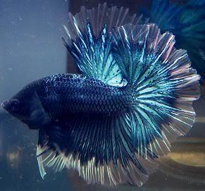8 type of betta fish by pattern types like betta fish for Butterfly betta fish