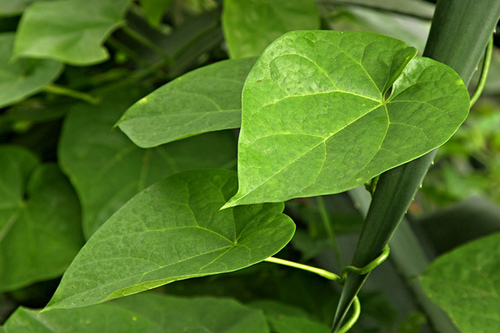 Tinospora cordifolia : A Versatile Rejuvenating Herb! |The ...
