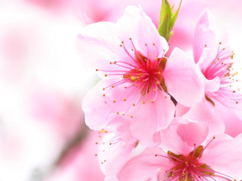 tami holman cherry blossom flower wallpaper. Black Bedroom Furniture Sets. Home Design Ideas