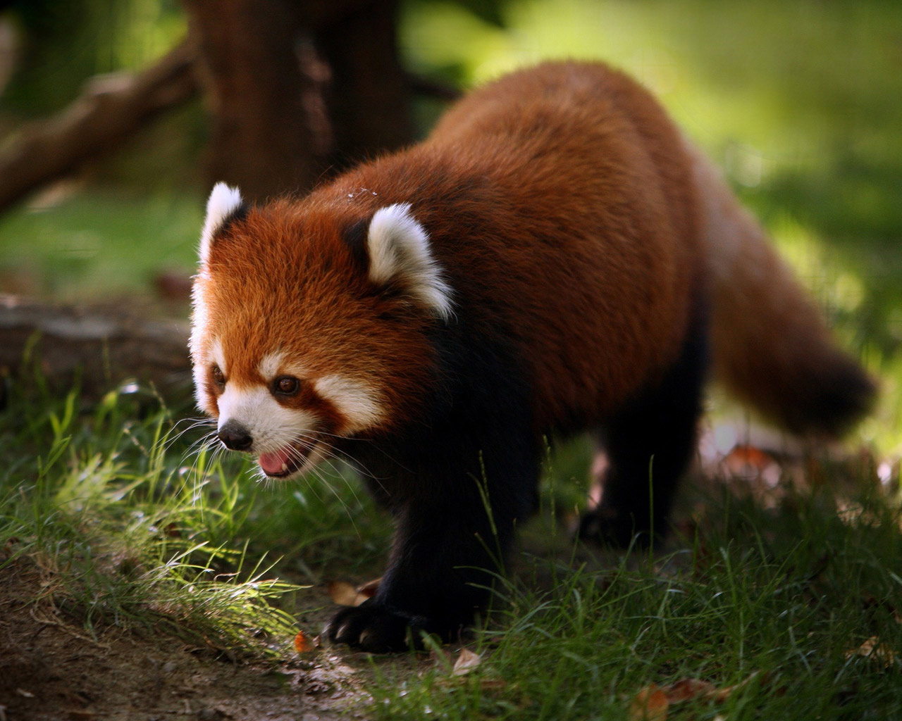 http://3.bp.blogspot.com/-bV-rPhN5NUY/Tt8i_2_A4xI/AAAAAAAAAk8/LVHa8mFSO-8/s1600/Red_Panda_background_images.jpg