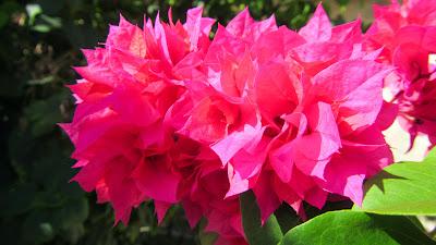 Pinkfarbene Blüten auf den Seychellen