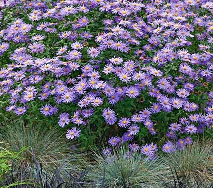 Inverno Aster Bronzo TAPPETO-Chrysanthemum indicum