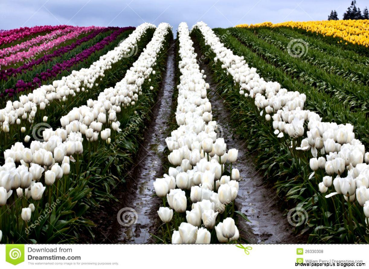 White Flower Farm | HD Wallpapers Plus