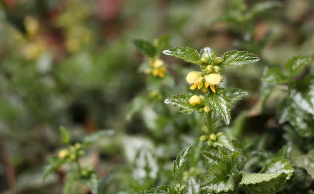 Yellow Archangel Flowers Pictures