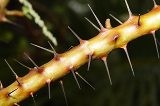 Thorny branch