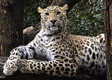 Foto Macan Tutul India (Panthera Pardus Fusca)