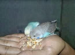 Burung parkit, Cara menjinakan burung parkit, Cara menjinakan parkit