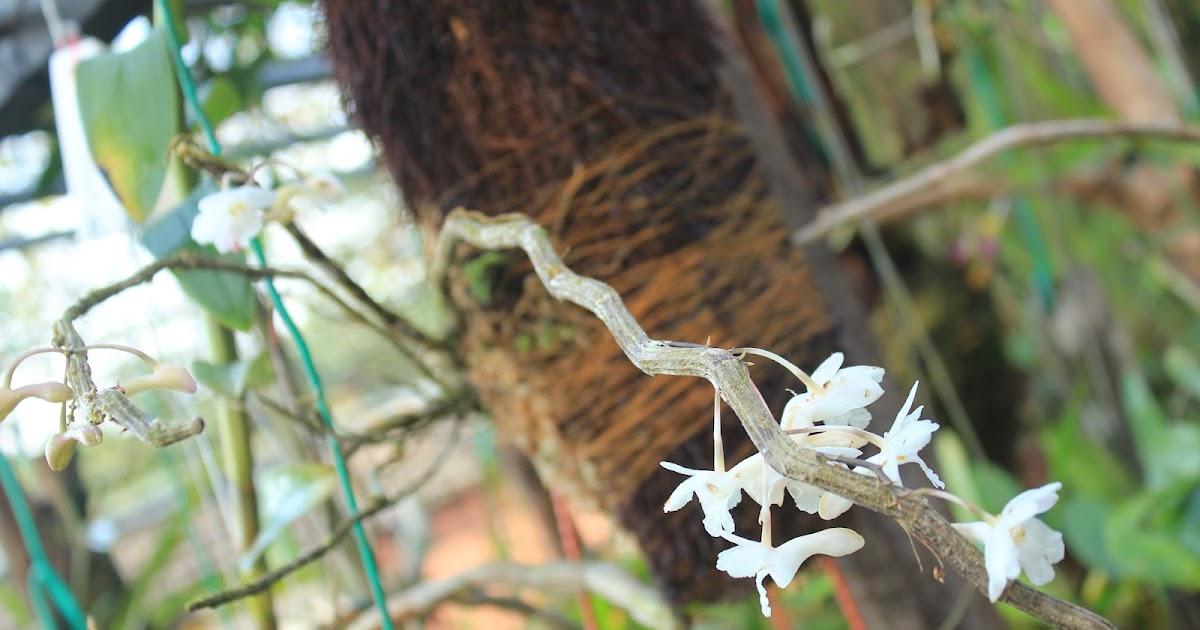 Anggrek Farmeri Pink godean.web.id