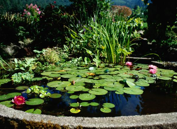Chitrasutra create your own mini pond for Best aquatic plants for small ponds