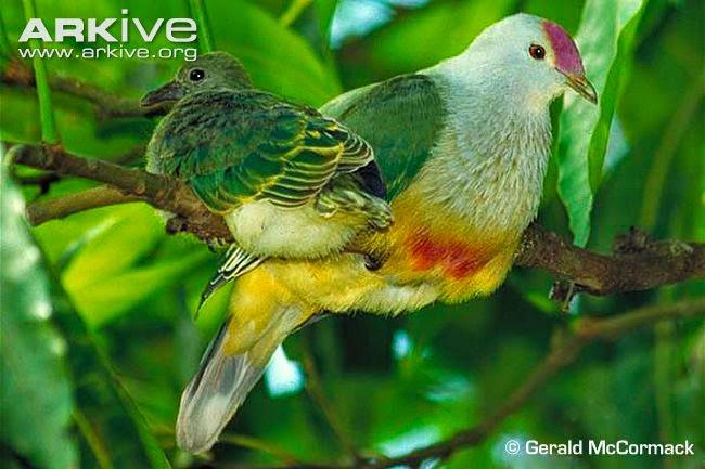 Rarotonga fruit dove