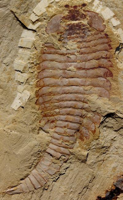 520-million-year-old arthropod brains turn paleontology on its head