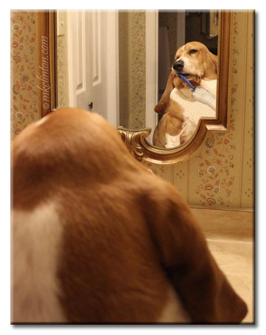 Bentley Basset Hound brushing his teeth in a mirror