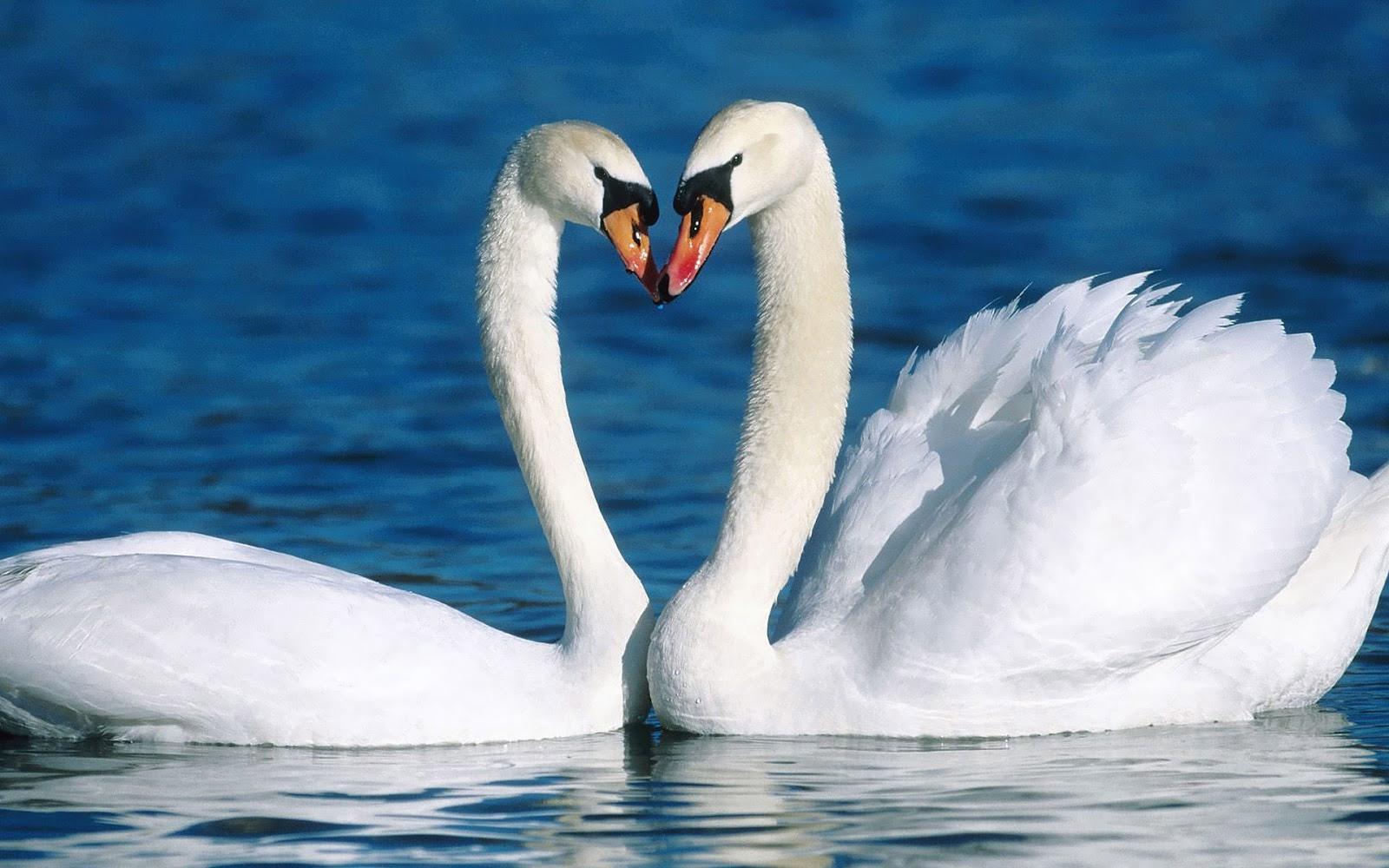 Картинки черный и белый лебедь