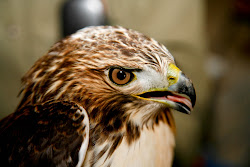 Coco, Juvenile Red-tailed Hawk