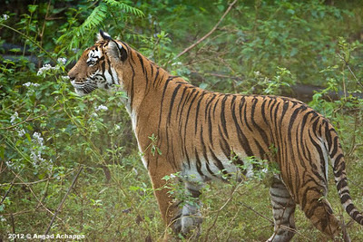 Tigress Gowri at Bandipur National Park