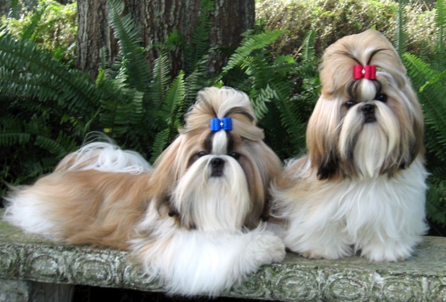 Shih Tzu dogs: Despite of a noble and arrogant nature, Shih Tzu dogs