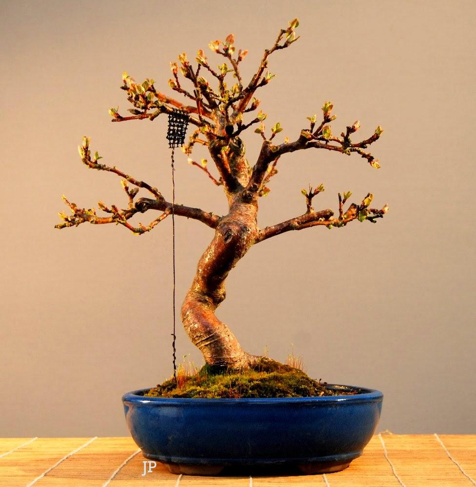 jupp s bonsai blog jeden tag ein bisschen mehr. Black Bedroom Furniture Sets. Home Design Ideas