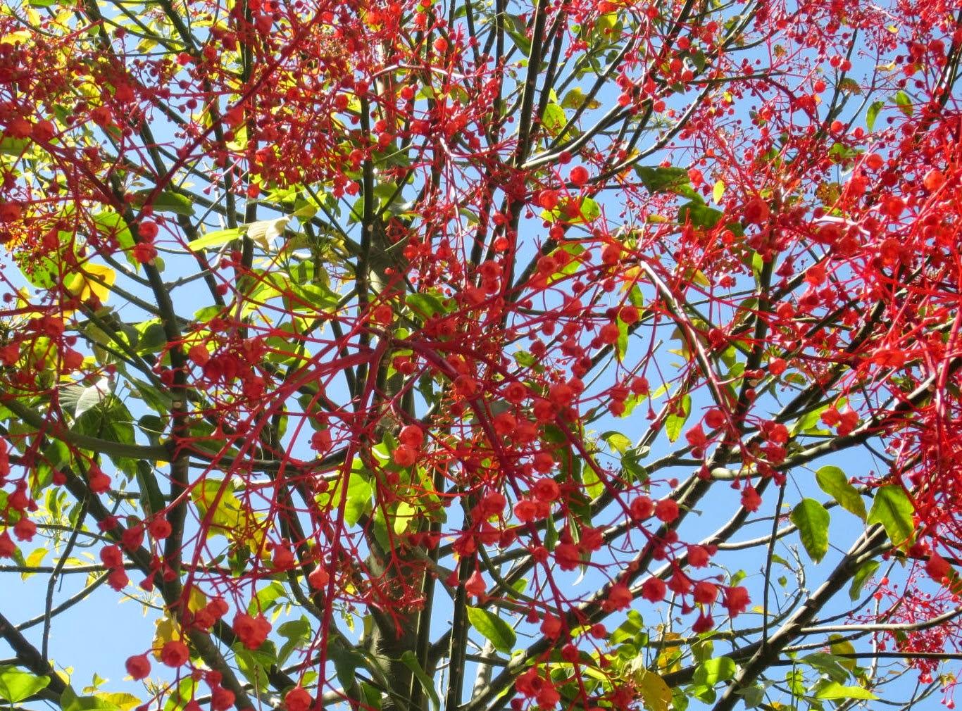 Hilo rojo rbol del fuego el braquiquito rojo for Arbol del fuego jardin