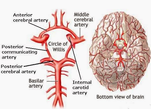 Outstanding Simple Brain Diagram Labeled Images Anatomy And