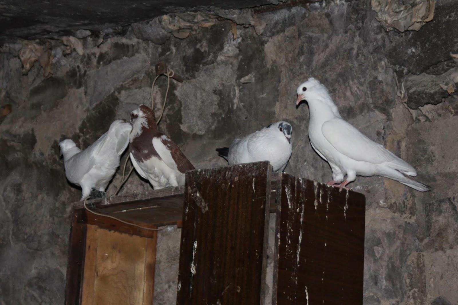 Աղունիկները՝ ավտոտնակում