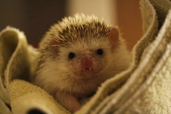 Funny animals of the week - 28 February 2014 (40 pics), hedgehog with vampire teeth