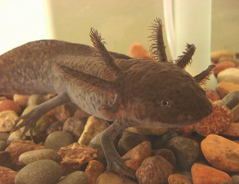 Brown captive axolotl