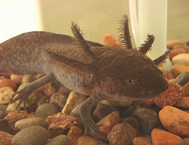 Brown captive axolotl