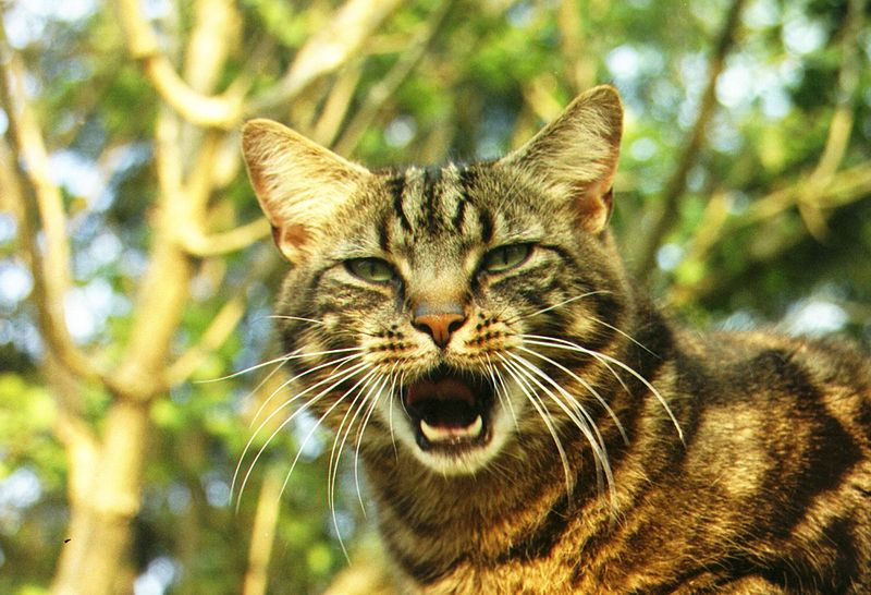 Can you train your cat to stop meowing